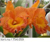 Оранжевое чудо. Крупноцветковая орхидея. Стоковое фото, фотограф Луканцев Иван Сергеевич / Фотобанк Лори
