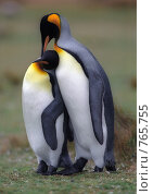Купить «Королевские пингвины», фото № 765755, снято 18 июня 2019 г. (c) Leksele / Фотобанк Лори