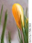 Желтый бутон. Стоковое фото, фотограф Маснюк Мария / Фотобанк Лори