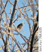 Купить «Воробей сидит на ветке, морозным зимним днем», фото № 768635, снято 20 ноября 2007 г. (c) Лилия / Фотобанк Лори