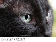 Купить «Черная кошка, крупный план», фото № 772371, снято 15 февраля 2009 г. (c) Сергей Чистяков / Фотобанк Лори
