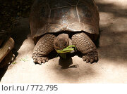Купить «Гигантская черепаха (Aldabra Giant Tortoise, Geochelone gigantea) в питомнике на Занзибаре», фото № 772795, снято 11 января 2009 г. (c) Алексей Зарубин / Фотобанк Лори