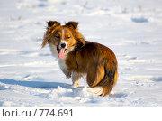 Купить «Собака с поджатой лапкой», фото № 774691, снято 15 марта 2009 г. (c) Андрей Первеев / Фотобанк Лори