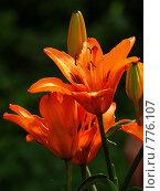 Купить «Оранжевые лилии», фото № 776107, снято 20 июля 2008 г. (c) Павел Преснов / Фотобанк Лори