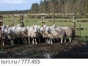 Купить «Овцы», фото № 777455, снято 28 марта 2009 г. (c) Татьяна Кахилл / Фотобанк Лори