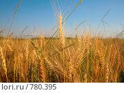Купить «Пшеничное поле», фото № 780395, снято 16 июня 2019 г. (c) Losevsky Pavel / Фотобанк Лори