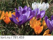 Купить «Крокусы», фото № 781459, снято 28 марта 2009 г. (c) Dmitriy Andrushchenko / Фотобанк Лори