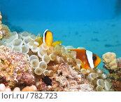 Купить «Рыбы-клоуны ( Amphiprion bicinctus) и пузырьковая анемона (Entacmaea quadricolor). Подводная съемка», фото № 782723, снято 21 ноября 2008 г. (c) Мельников Дмитрий / Фотобанк Лори