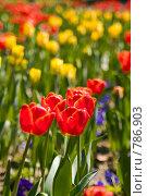 Купить «Тюльпаны», фото № 786903, снято 3 апреля 2008 г. (c) Игорь Р / Фотобанк Лори