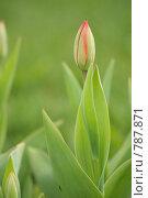 Купить «Нераскрывшийся красный тюльпан на зеленом фоне», фото № 787871, снято 1 мая 2008 г. (c) Пиневич Геннадий Александрович / Фотобанк Лори