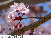 Купить «Вишневый цвет», фото № 791731, снято 10 марта 2009 г. (c) Брыков Дмитрий / Фотобанк Лори