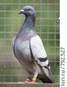Купить «Почтовый голубь в нагуле», эксклюзивное фото № 792527, снято 27 июля 2007 г. (c) Дмитрий Неумоин / Фотобанк Лори