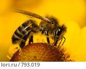 Купить «Пчела на цветке», фото № 793019, снято 16 сентября 2007 г. (c) Алексей Ухов / Фотобанк Лори