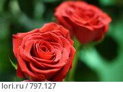 Купить «Розы», фото № 797127, снято 8 апреля 2009 г. (c) Вальченко Любовь / Фотобанк Лори
