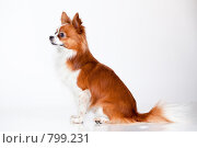 Купить «Бело-рыжая собака породы чихуахуа сидит», фото № 799231, снято 19 марта 2009 г. (c) Алексия Хрущева / Фотобанк Лори