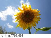 Купить «Подсолнух на фоне неба», фото № 799491, снято 17 июля 2007 г. (c) Пакалин Сергей / Фотобанк Лори