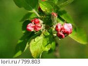 Купить «Весна. Цветущая яблоня  в саду», фото № 799803, снято 15 сентября 2019 г. (c) ElenArt / Фотобанк Лори