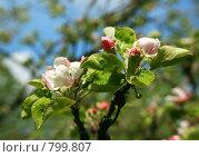 Купить «Весна. Цветущая яблоня», фото № 799807, снято 15 сентября 2019 г. (c) ElenArt / Фотобанк Лори