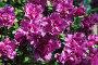 Цветs азалии, фото № 801459, снято 1 апреля 2007 г. (c) Харитонова Ольга / Фотобанк Лори