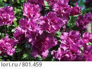 Купить «Цветs азалии», фото № 801459, снято 1 апреля 2007 г. (c) Харитонова Ольга / Фотобанк Лори
