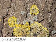 Купить «Лишайник - ксантория постенная или стенная золотнянка - Xanthoria parietina. Серый лишайник - один из видов родов Пармелия (Parmelia) или Пармелиопсис (Parmeliopsis).», фото № 802039, снято 6 апреля 2009 г. (c) Иван Сазыкин / Фотобанк Лори