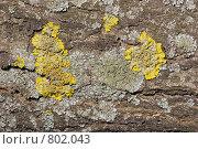 Купить «Лишайник - ксантория постенная или стенная золотнянка - Xanthoria parietina. Серый лишайник - один из видов родов Пармелия (Parmelia) или Пармелиопсис (Parmeliopsis).», фото № 802043, снято 6 апреля 2009 г. (c) Иван Сазыкин / Фотобанк Лори