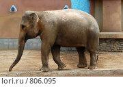 Купить «Слон (Московский зоопарк)», фото № 806095, снято 11 мая 2008 г. (c) Елена Азарнова / Фотобанк Лори