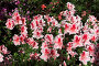 Цветок азалии, фото № 808179, снято 1 апреля 2007 г. (c) Харитонова Ольга / Фотобанк Лори