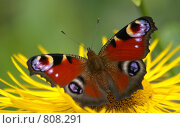 Купить «Павлиний глаз на цветке девясила», фото № 808291, снято 23 июля 2005 г. (c) Ирина Кожемякина / Фотобанк Лори