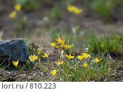 Купить «Растение Гусиный лук - Gagea Salisb», фото № 810223, снято 15 апреля 2009 г. (c) Александр Шутов / Фотобанк Лори