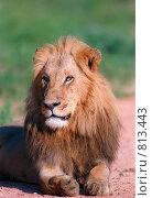 Молодой лев. Стоковое фото, фотограф Leksele / Фотобанк Лори