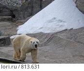 Купить «Белый медведь (московский зоопарк)», фото № 813631, снято 11 мая 2008 г. (c) Елена Азарнова / Фотобанк Лори