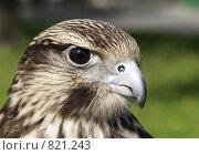 Купить «Балобан (Falco cherrug). Портрет», фото № 821243, снято 21 мая 2007 г. (c) Максим Антипин / Фотобанк Лори