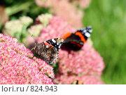 Бабочки адмирал на соцветиях розового очитка. Стоковое фото, фотограф Тамара Нагиева / Фотобанк Лори