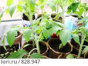 Рассада помидоров. Стоковое фото, фотограф Наталия Валиахметова / Фотобанк Лори