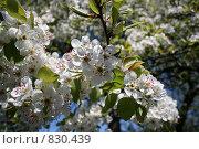 Купить «Цветущая груша», фото № 830439, снято 26 апреля 2009 г. (c) Александр Бутенко / Фотобанк Лори