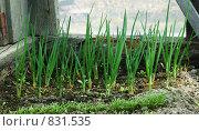 Купить «Зеленый лук в теплице», фото № 831535, снято 26 апреля 2009 г. (c) Елена Климовская / Фотобанк Лори