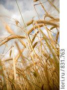 Купить «Рожь», фото № 831763, снято 26 июля 2008 г. (c) Горшкова Юлия / Фотобанк Лори