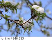 Купить «Снег на распускающихся листьях яблони. Снегопад в мае», фото № 846583, снято 4 мая 2009 г. (c) Юлия Машкова / Фотобанк Лори