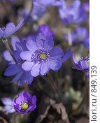 Купить «Печеночница благородная (Hepatica nobilis)», фото № 849139, снято 3 мая 2009 г. (c) Наталия Шевченко / Фотобанк Лори