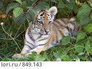 Купить «Лежащий в траве амурский тигренок (лат. Panthera tigris altaica)», фото № 849143, снято 27 августа 2005 г. (c) Галина Михалишина / Фотобанк Лори