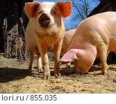 Купить «Свинки», фото № 855035, снято 19 апреля 2009 г. (c) Николай Шуманский / Фотобанк Лори