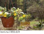 Купить «Вербейник Скученноцветковый (Lysimachia Congestiflora). Семейство Первоцветные», фото № 855631, снято 9 мая 2009 г. (c) Румянцева Наталия / Фотобанк Лори