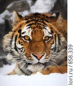 Купить «Портрет тигра», фото № 858339, снято 22 февраля 2009 г. (c) Игорь Жоров / Фотобанк Лори