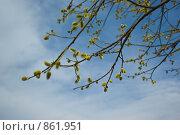 Купить «Ветки вербы на фоне неба», фото № 861951, снято 8 мая 2009 г. (c) Наталия Печёрских / Фотобанк Лори