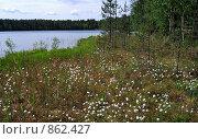Пушица Eriophorum humile  на берегу озера. Стоковое фото, фотограф Елена Реднева / Фотобанк Лори