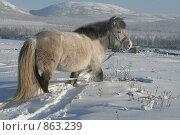 Купить «Лошадь в снегу. Якутия», фото № 863239, снято 24 февраля 2007 г. (c) Анна Зеленская / Фотобанк Лори