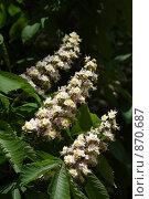 Купить «Свечи каштана», фото № 870687, снято 9 мая 2009 г. (c) Олег Гуличев / Фотобанк Лори