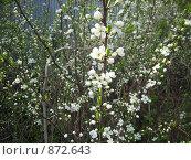Купить «Вишня в цвету», фото № 872643, снято 9 мая 2009 г. (c) Галина Гуреева / Фотобанк Лори