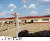 Купить «Африканский страус», фото № 872691, снято 11 мая 2009 г. (c) Елена Велесова / Фотобанк Лори
